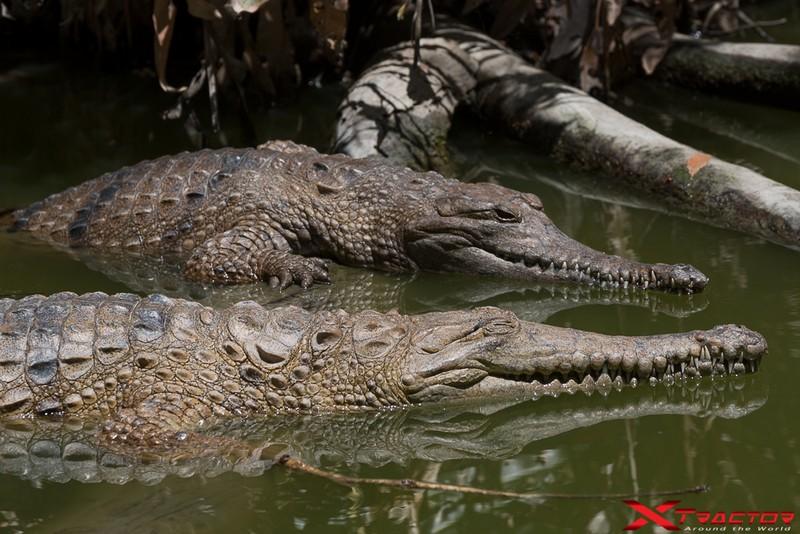 Coccodrilli nel loro habitat naturale
