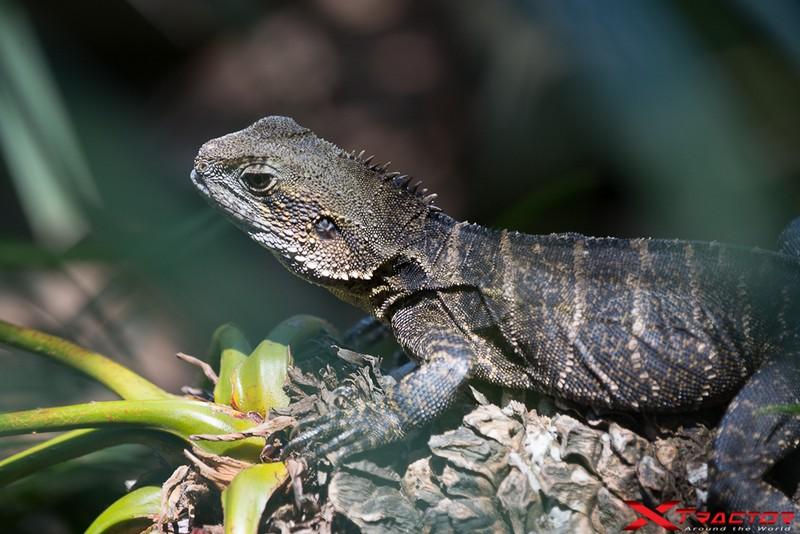 Iguana nel suo habitat naturale