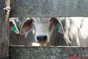 Mucca dietro al recinto