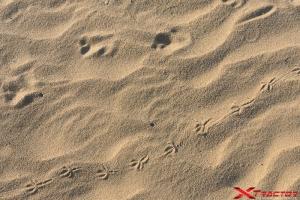 impronte di animali sulla sabbia