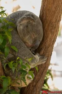 Koala accovacciato su un albero