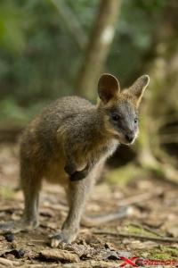 Baby canguro nella natura