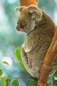 Koala sull'albero nella natura