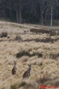 Canguri in mezzo all'erba